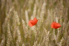 Zwei Mohnblumen auf einem Gebiet Lizenzfreies Stockbild