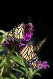 Zwei Monarchfalter auf Buddleja stockfotos