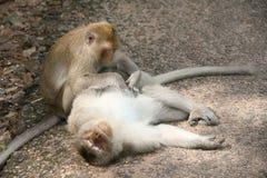Zwei monkies Lizenzfreie Stockfotos