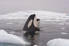 Zwei Mörderwale Stockbild
