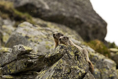 Zwei Murmeltiere auf Felsen Stockbild