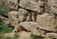 Zwei Murmeltiere, die zu einer Seite schauen Stockfotos