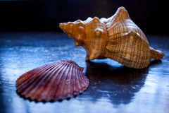 Zwei Muscheln auf einem blauen Hintergrund Stockfotografie