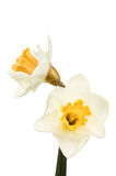Zwei Narzissenblumen Lizenzfreies Stockbild