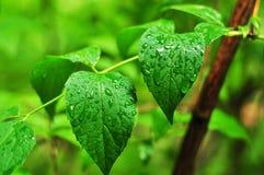 Zwei nasse Blätter im Garten Stockbild