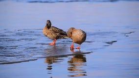 Zwei nette Enten auf einer Eisscholle im Frühjahr im schönen rosa-blauen Wasser stock video