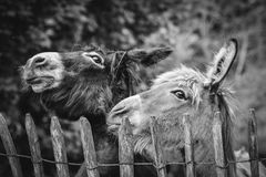 Zwei nette Esel Lizenzfreies Stockbild