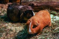 Zwei nette Hamster im natürlichen Lebensraum stockfotos