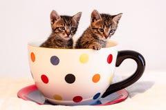 Zwei nette Kätzchen der getigerten Katze in der riesigen Polka punktierten Becher oder Schale Stockfotos