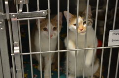 Zwei nette kleine Schutz-Kätzchen lizenzfreies stockfoto