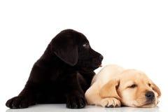 Zwei nette Labrador-Welpen lizenzfreies stockbild
