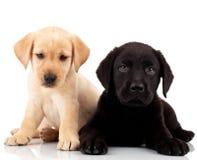Zwei nette Labrador-Welpen stockfotos