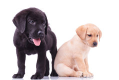 Zwei nette Labrador-Welpen Lizenzfreie Stockfotos