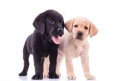 Zwei nette Labrador-Welpen auf weißem Hintergrund Lizenzfreie Stockfotos