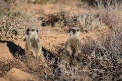 Zwei nette meerkats in der Wüste von Oudtshoorn, Südafrika Lizenzfreies Stockfoto