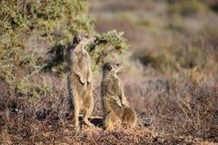 Zwei nette meerkats in der Wüste von Oudtshoorn, Südafrika Lizenzfreie Stockbilder