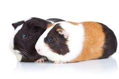 Zwei nette Meerschweinchen Lizenzfreie Stockfotografie