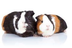 Zwei nette Meerschweinchen Lizenzfreie Stockbilder