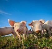 Zwei nette Schweine Lizenzfreies Stockfoto