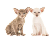 Zwei nette siamesische Babykatzen Lizenzfreie Stockbilder