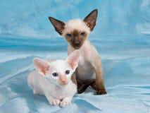 Zwei nette siamesische Kätzchen auf blauem Hintergrund Lizenzfreie Stockfotos