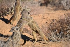 Zwei nette spielende meerkats in der Wüste von Oudtshoorn, Südafrika Lizenzfreie Stockfotos