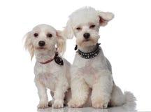Zwei nette weiße bichons, die lustige Krägen tragen Lizenzfreies Stockbild