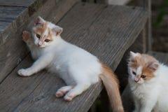 Zwei nette weiße u. orange Kätzchen stockfotos