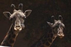 Zwei nette westafrikanische Giraffen betrachten Kamera - Los Angeles-Zoo stockbilder
