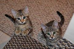 Zwei neugierige Kätzchen, die auf Antworten warten stockbild