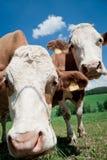 Zwei neugierige Kühe Lizenzfreie Stockfotografie
