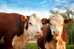 Zwei neugierige Kühe stockfotografie