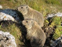 Zwei neugierige Murmeltiere, die Schweiz Lizenzfreies Stockbild