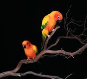 Zwei neugieriger Sun Conures auf einem Zweig Stockfotos