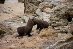 Zwei Neuseeländischer Seebären/Kekeno, das auf einem Felsen im Noppen-Punkt im Catlins in der Südinsel in Neuseeland fightning is stockbilder