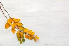 Zwei Niederlassungen alter weißer hölzerner schäbiger Hintergrund gelber Herbstlaub Spiraea Vanhouttei