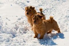 Zwei Norfolk-Terrier Lizenzfreie Stockfotos