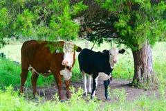 Zwei Nosie-Kühe Lizenzfreie Stockfotos