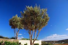 zwei Oliven in einem Gartenpark. Stockbilder