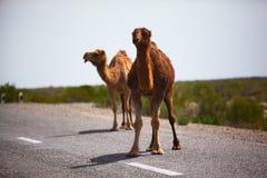 One-humped Kamele auf der Straße Stockfotos