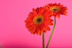 Zwei orange Gerber Gänseblümchen getrennt. Stockfotografie