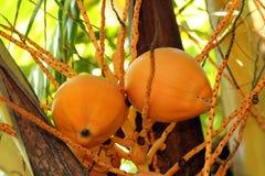 Zwei orange Kokosnüsse, die im Baum hängen Lizenzfreies Stockfoto