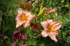 Zwei orange Lilien Stockfotografie