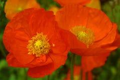 Zwei orange Mohnblumen Lizenzfreie Stockfotografie