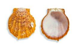 Zwei orange Muscheln Stockfoto