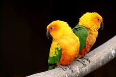 Zwei orange Papageien auf schwarzem Hintergrund Stockfotografie