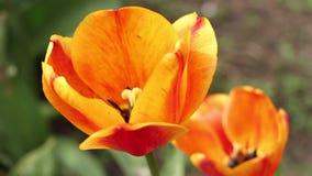 Zwei orange Tulpen mit einer Biene stock video footage