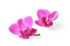 Zwei Orchideeblumen auf weißem Hintergrund Lizenzfreie Stockbilder
