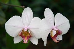 Zwei Orchideen lizenzfreie stockfotos