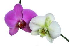 Zwei Orchideen Stockbild